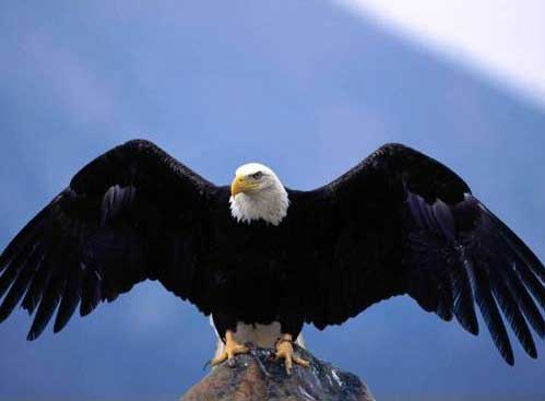 Interesting Facts about the Bald Eagle