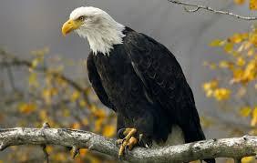 Bald Eagle Pics