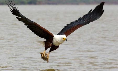 National Bird of Zambia