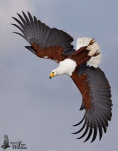 Fish Eagle Pics
