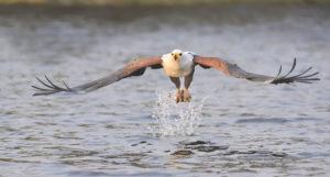Fish Eagle Picture