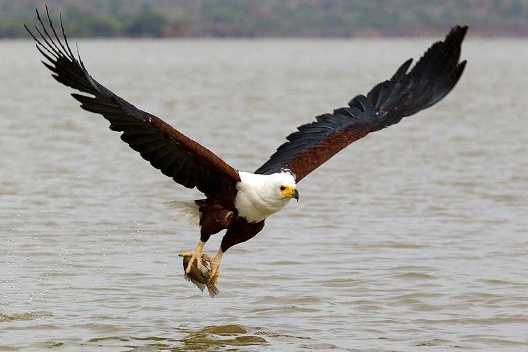 Fish Eagle : National Bird of Zambia | Interesting Facts ...