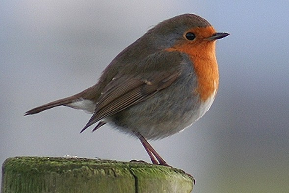 National Bird of UK