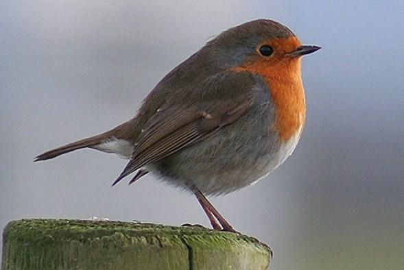 National Bird of UK