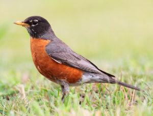 Robin Picture
