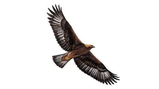 Golden Eagle Pics