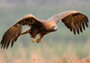 Golden Eagle pictures