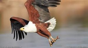 picture of Fish Eagle