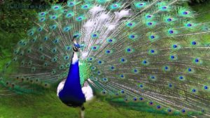 picture of Peacock