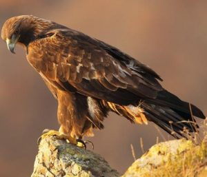 pictures of Golden Eagle