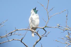 Bare-throated Bellbird Pics