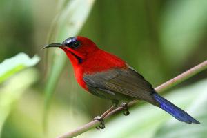 Crimson Sunbird Pics