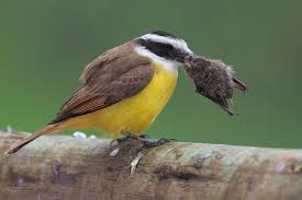 Great Kiskadee Pics