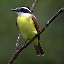 Great Kiskadee Picture