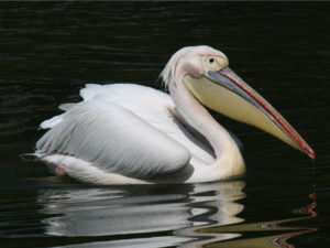 Great White Pelican Pics