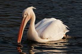 Great White Pelican Picture