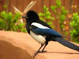 Korean Magpie Pics