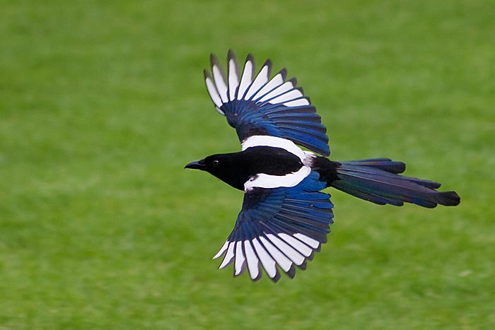 National Bird of South Korea