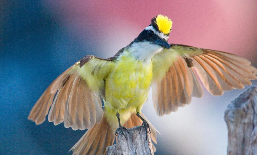 National Bird of Suriname