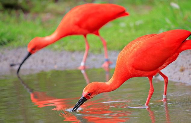 Scarlet Ibis National Bird of Trinidad and Tobago