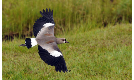 National Bird of Uruguay