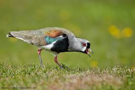 Southern Lapwing Picture