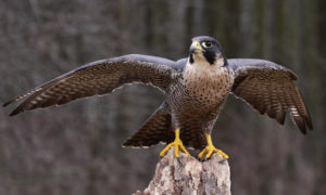 The National bird of Qatar is Falcon
