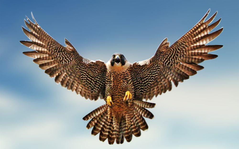The national bird of Saudi Arabia