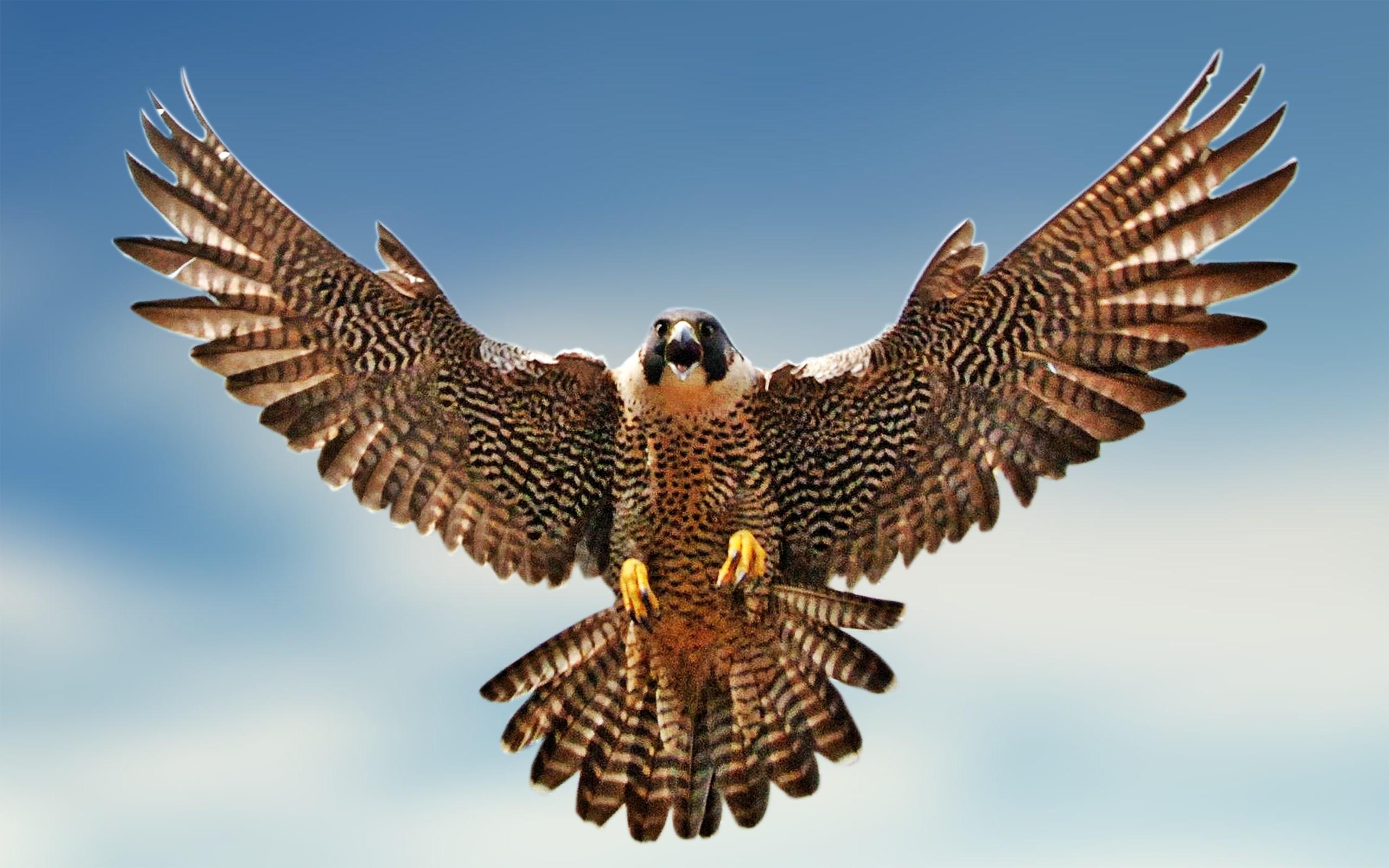 Falcon national bird of saudi arabia interesting facts biocorpaavc Images