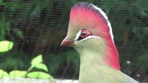 Turaco Picture