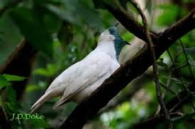 picture of Bare-throated Bellbird