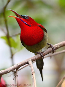 picture of Crimson Sunbird