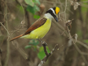 picture of Great Kiskadee