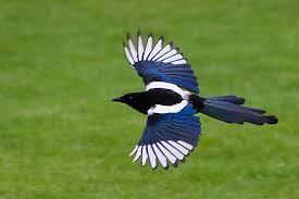 picture of Korean Magpie