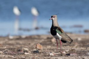 picture of Southern Lapwing