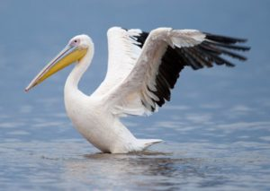 picturev of Great White Pelican