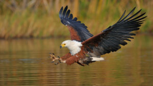 African Fish Eagle pics