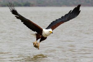 African Fish Eagle picture