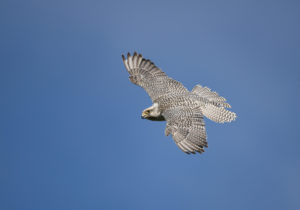 Gyrfalcons Picture