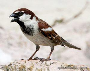 Italian Sparrow Pics
