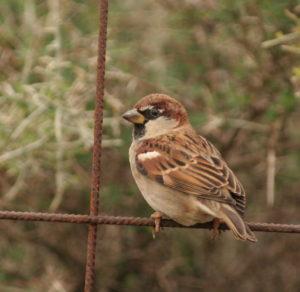 Italian Sparrow Picture