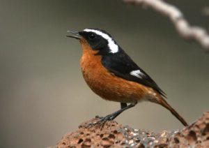 Moussier's redstart Picture