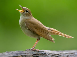 Nightingale : National Bird Of Iran