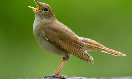 National Bird Of Iran