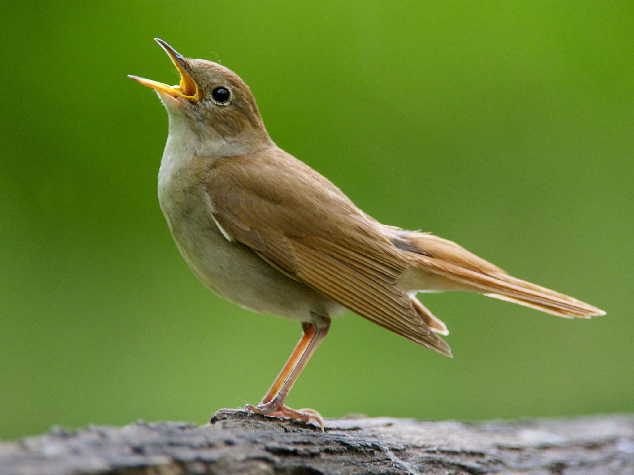 Nightingale : National Bird Of Iran | Interesting Facts