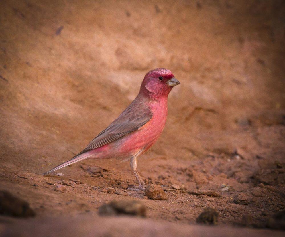 National Bird Of Jordan