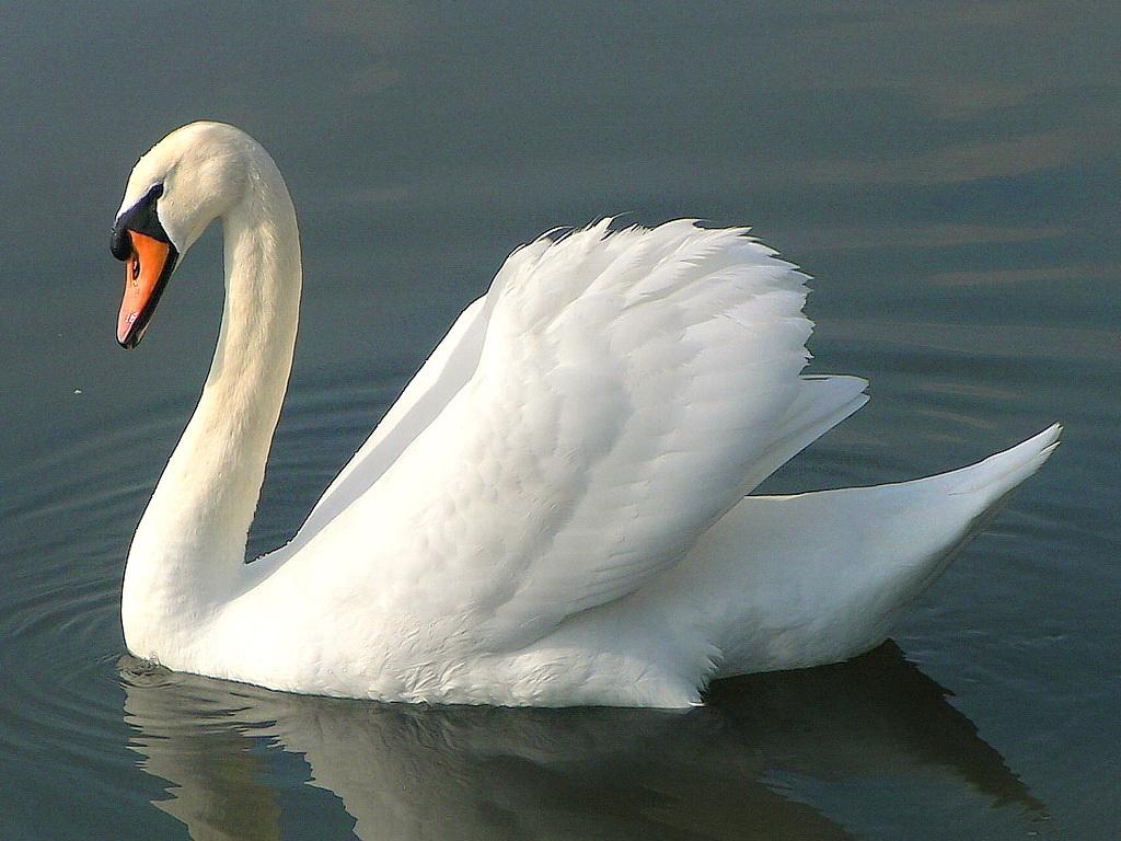 Swan : National Bird Of Ukraine | Interesting Facts - photo#24