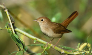 Nightingale Pics