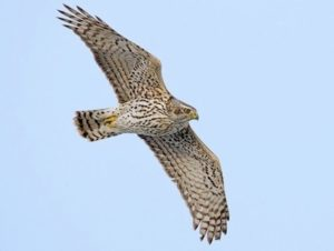 Northern Goshawk Picture