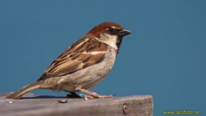 Picture of Italian Sparrow